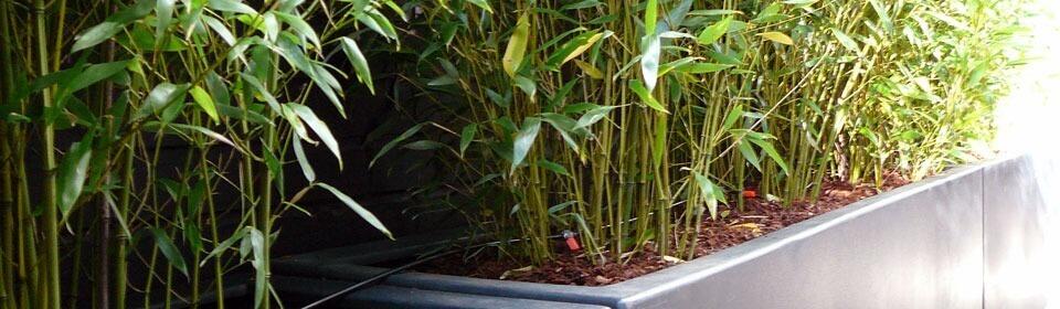 pied de bambous en bac