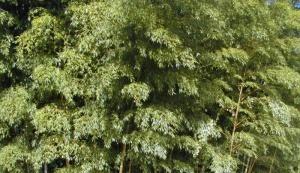 massif de bambous dense