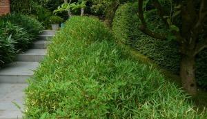 haie de bambous nains