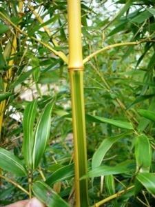 Phyllostachys bambusoïdes 'Castillonis'