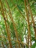 Phyllostachys bambusoïdes 'Holochrysa'