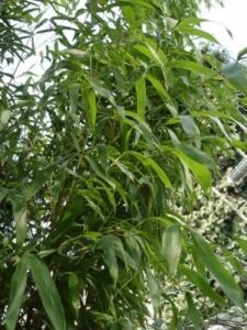 Phyllostachys décora (Rubromarginata)