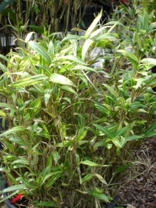 Pleioblastus fortunei (variegatus)