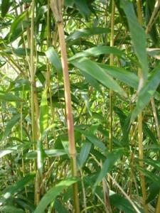 Semiarundinaria yashadake 'Kimmei'