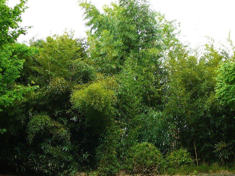 Massif de bambous géant