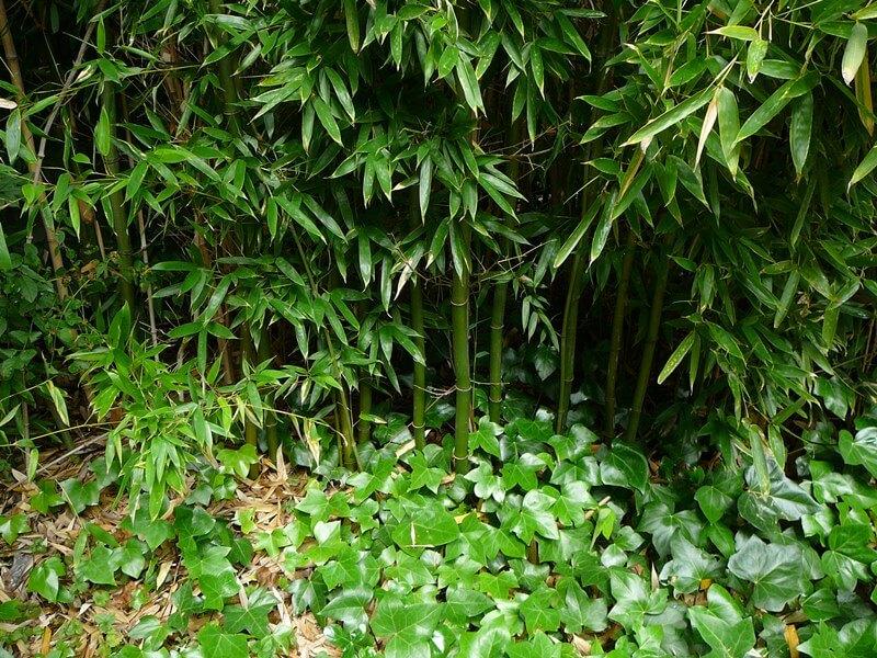 Pied d'un massif de bambous