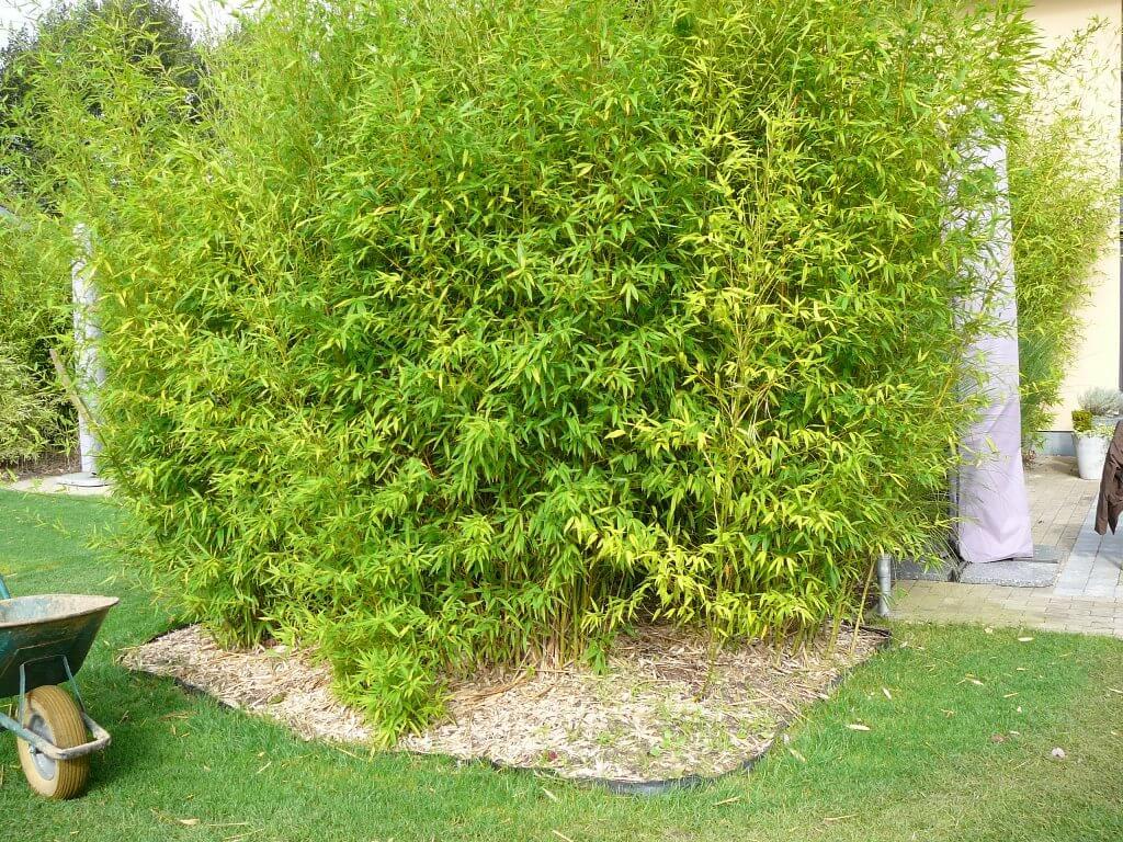 massif de bambou avec BAR